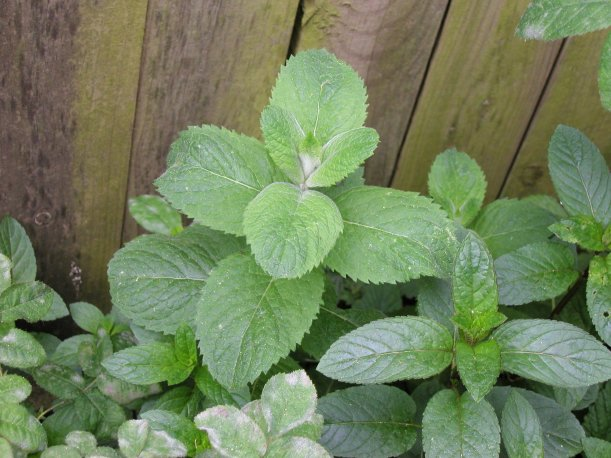 Apple mint and peppermint against a wooden fence