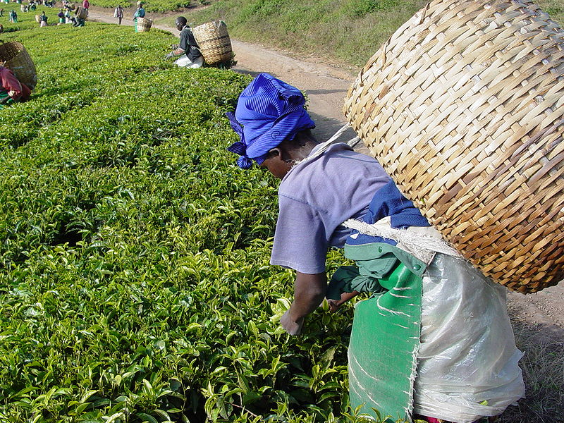 A lot of effort goes into tea production; decaffeination effectively throws out a large portion of that effort.  Photo by Martin Benjamin, licensed under CC BY-SA 3.0.