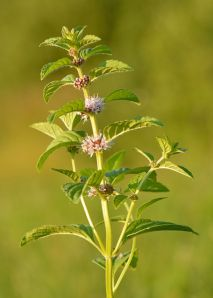 A mint plant in bloom