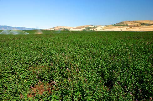 Mint growing in a vast monoculture, being irrigated in the distance.